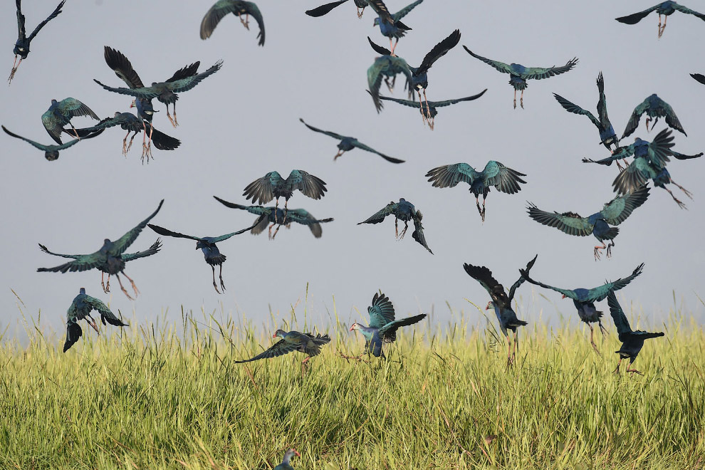 Красивая стая птиц на водно-болотных угодьях в 70 милях к северу от Янгона, Мьянма