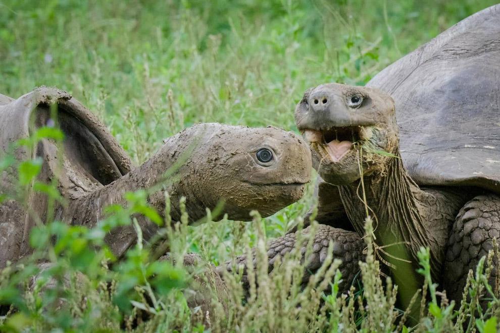 Гигантская черепаха на Галапагосских островах с камерами вместо глаз