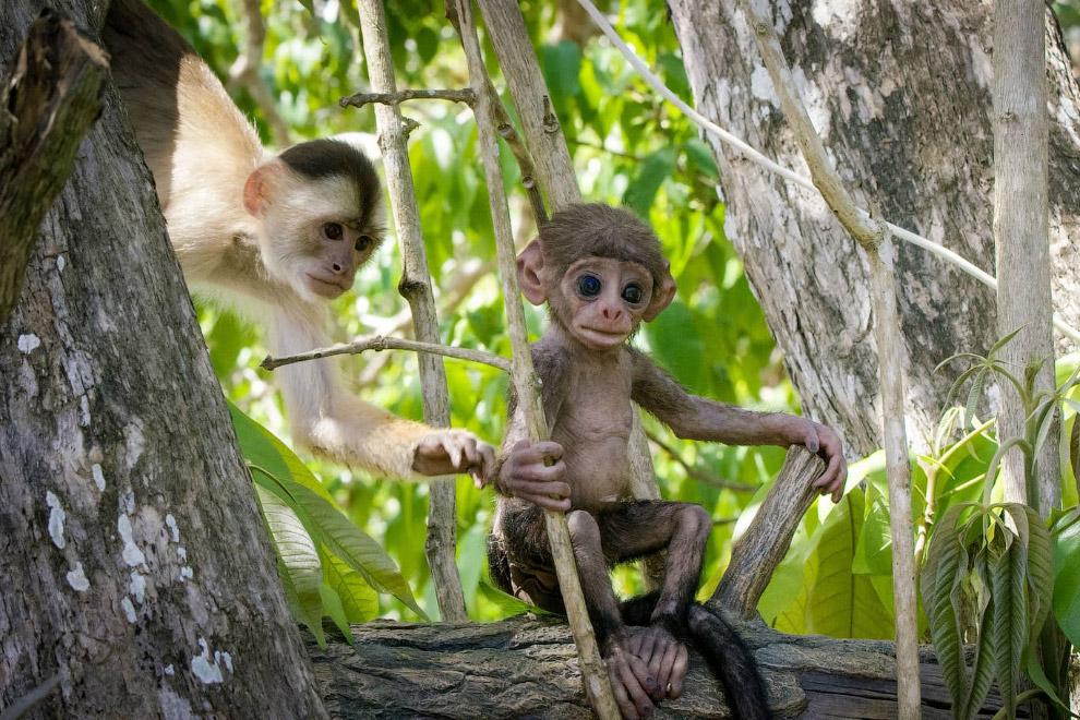 Камера в виде обезьянки в тропическом лесу Амазонки в Бразилии