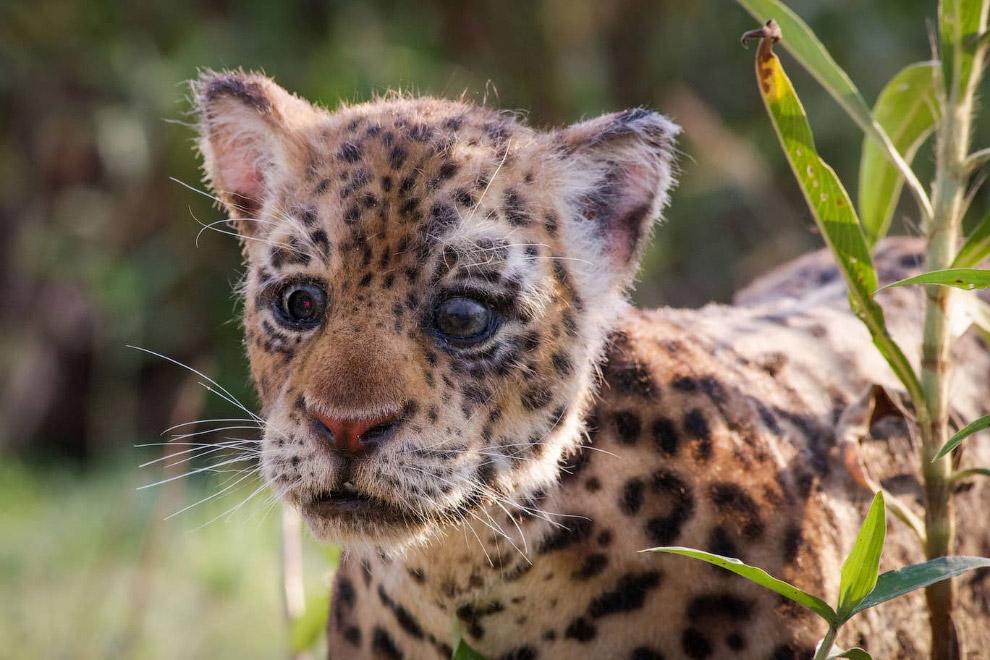 Робот-ягуар (детеныш) в джунглях Бразилии