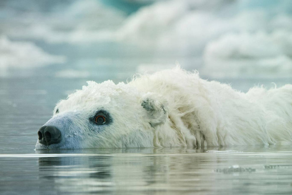 Белый медведь с камерами вместо глаз