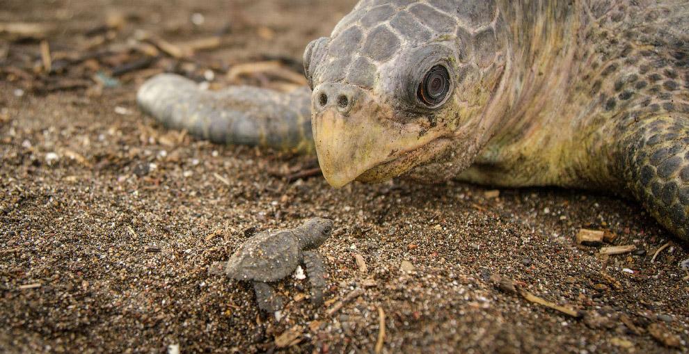 Оливковая черепаха как настоящая