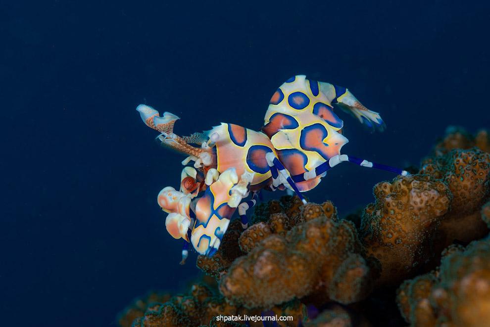 Golozhabeny clam