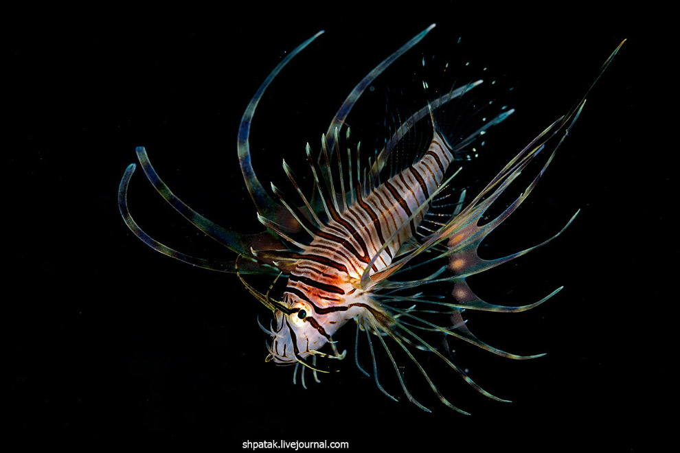 Nearly adult individual lionfish