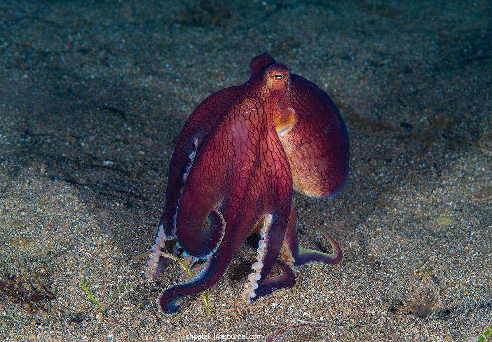 Возбужденный кокосовый осьминог