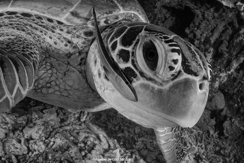 Графичная черепаха