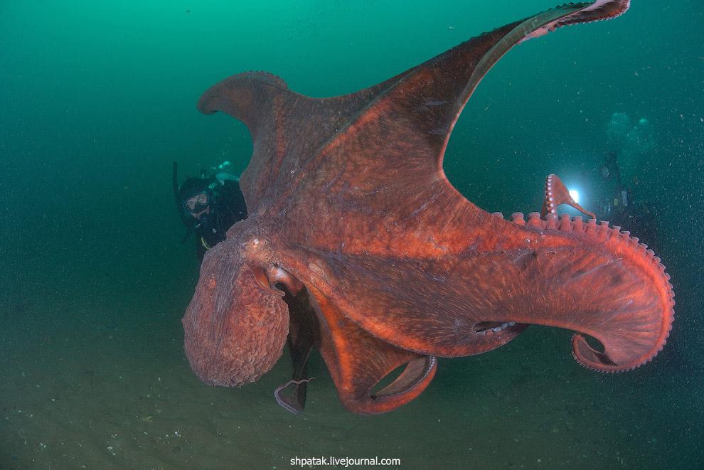 Octopus: