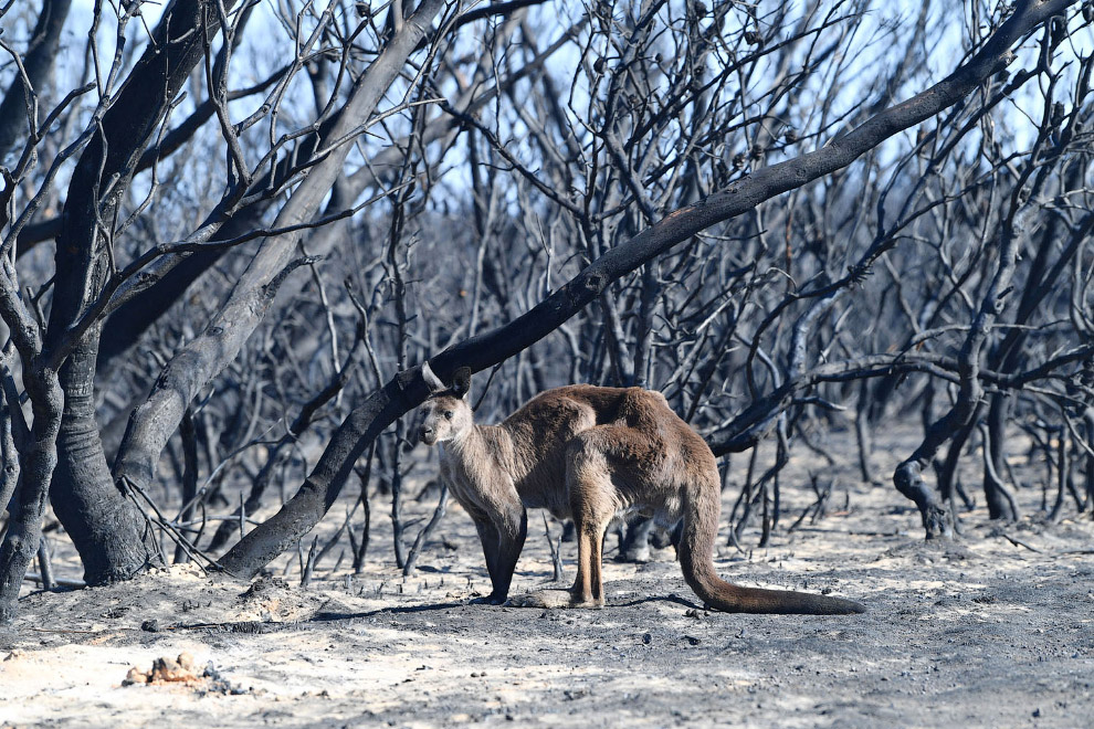Кенгуру виден в пострадавшем от лесного пожара районе