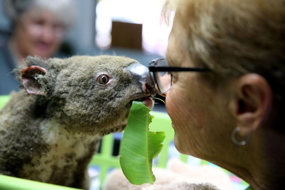 Koala named Pasha