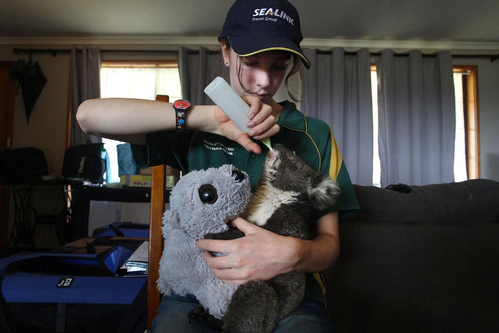 The injured koala