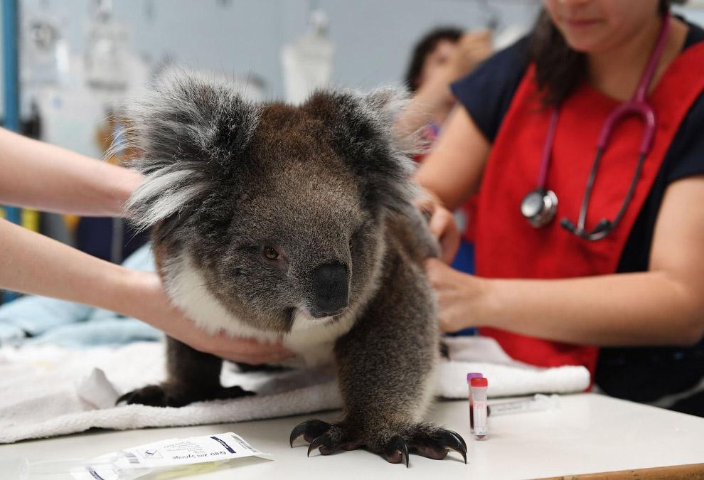 Koala treated by a veterinarian in Adelaide, Australia