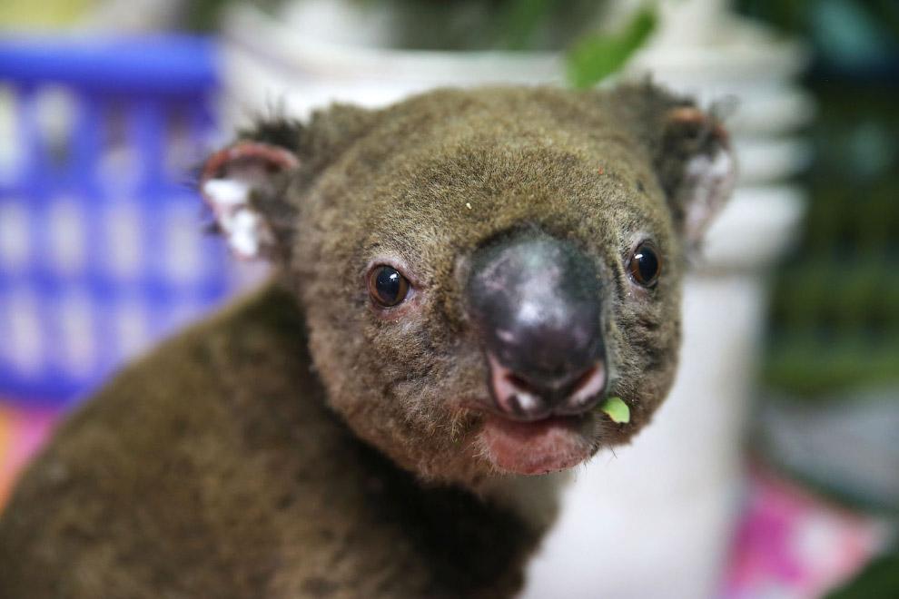 Наш знакомый, коала Паша, уже видели его
