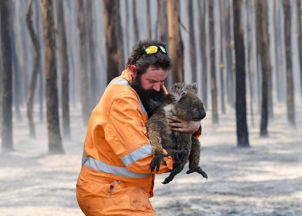 Спасатель несет коалу в горящего леса, она сильно пострадала