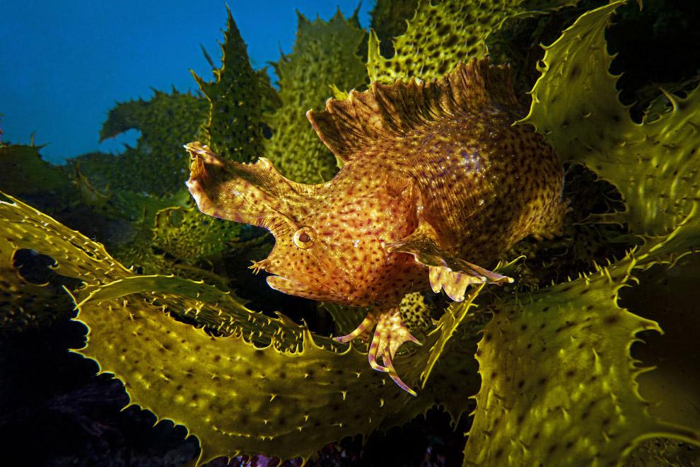 Cristiceps aurantiacus