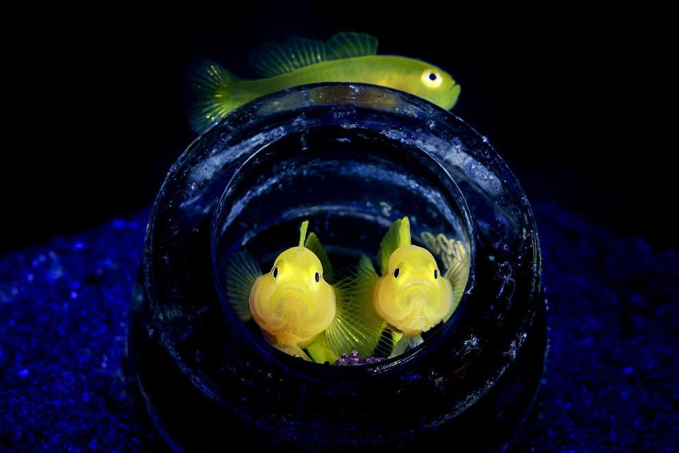 Лимонные рыбки Pygmy lemon gobies