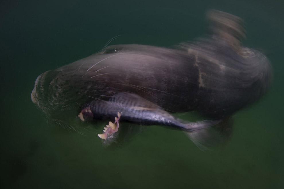 Серый тюлень и его обед