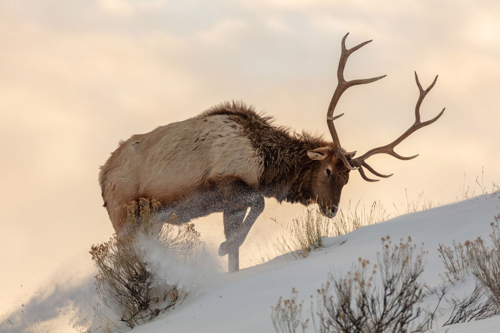 Bull elk searches for food beneath the snow
