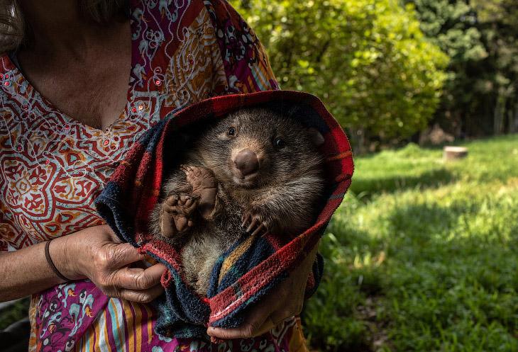 Вомбат в Центре спасения дикой природы в Робертсоне, Австралия