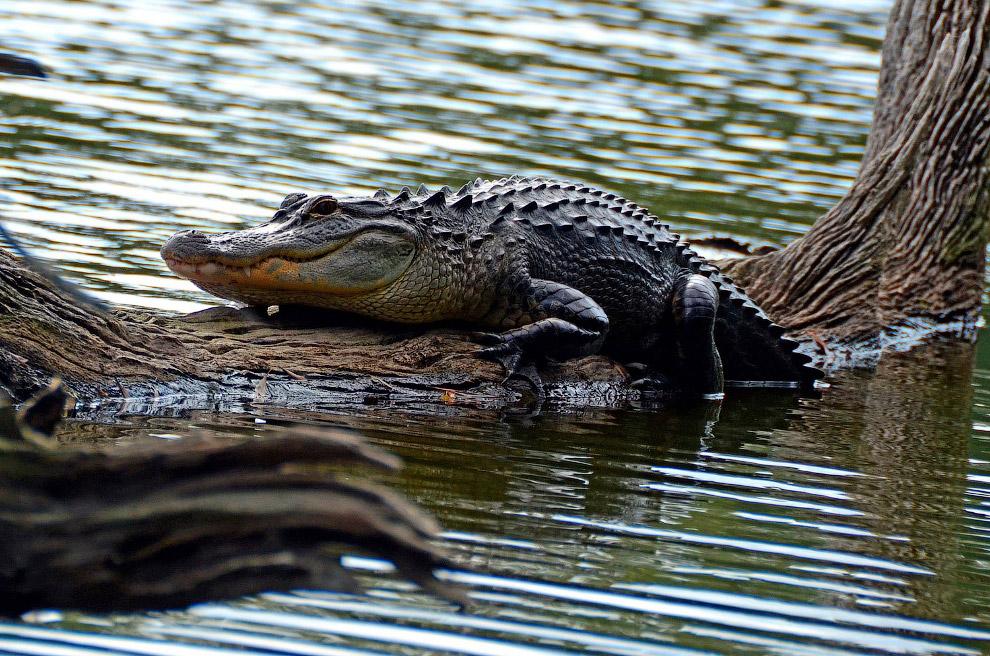 Аллигатор в заповеднике «Морские сосны» на острове Хилтон-Хед, штат Южная Каролина
