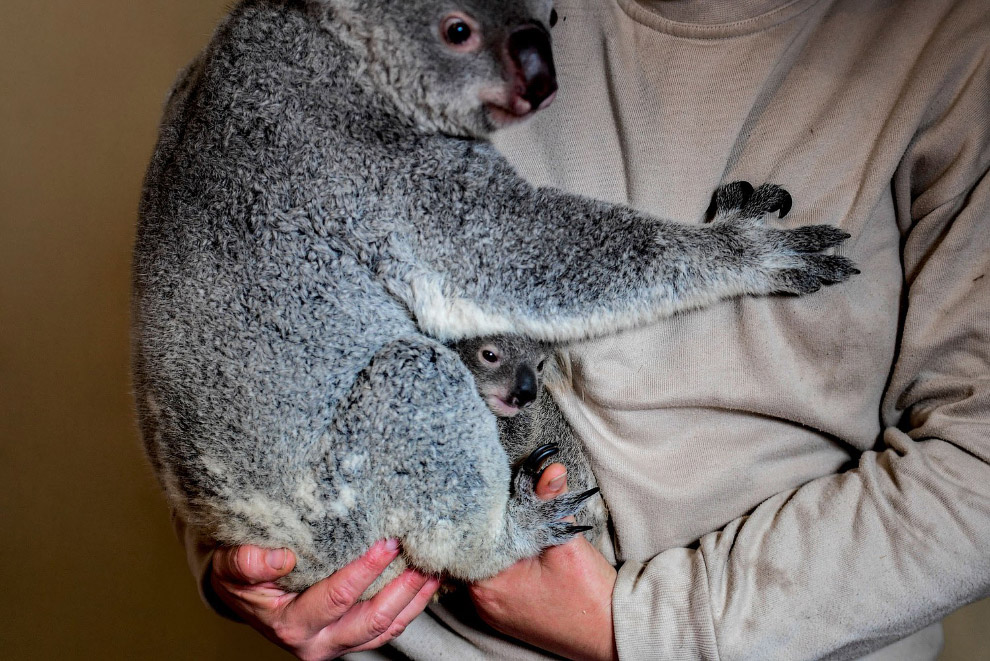 Коала и 7-месячный малыш в Лиссабонском зоопарке