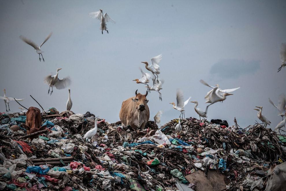 Коровы бродят в куче мусора на свалках в Лхоксеумаве, Индонезия