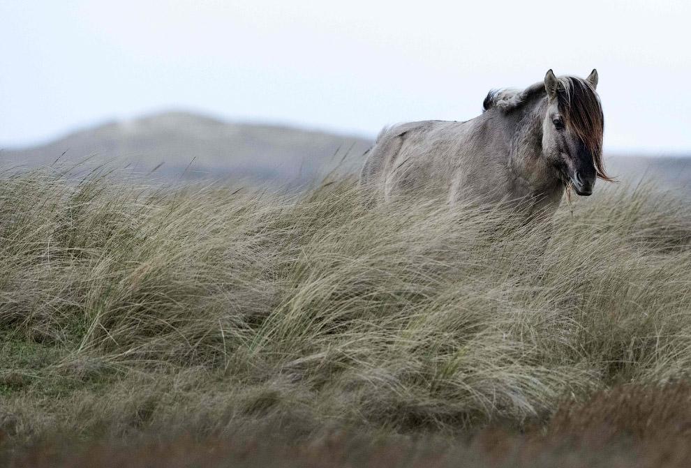 Лошадь в природном заповеднике на северном голландском острове Тексел