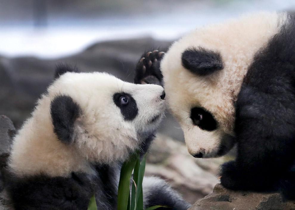 Панды в Берлинском зоопарке в Берлине, Германия