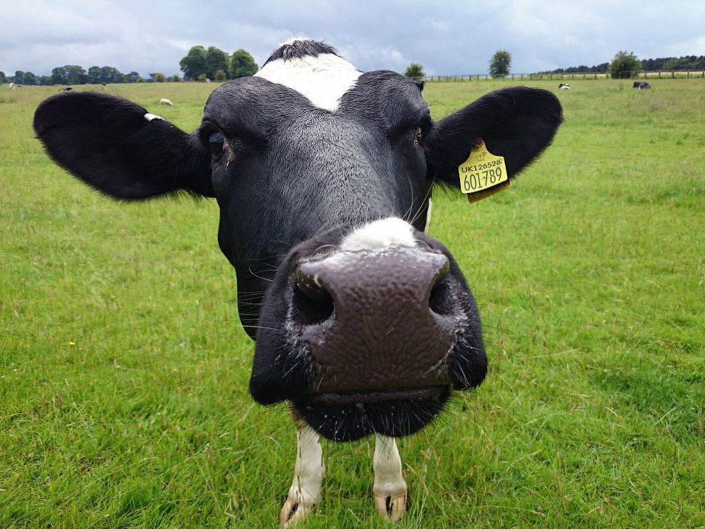 Австралийские ученые послушали, как мычат коровы