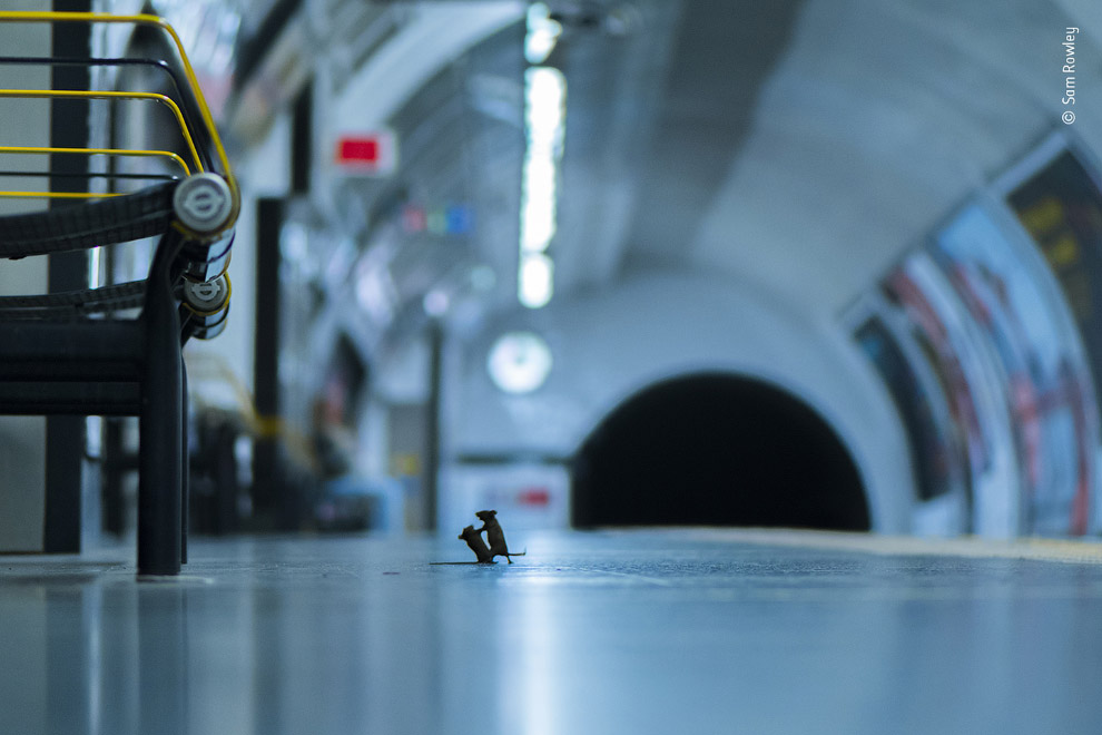 Драка мышей в метро