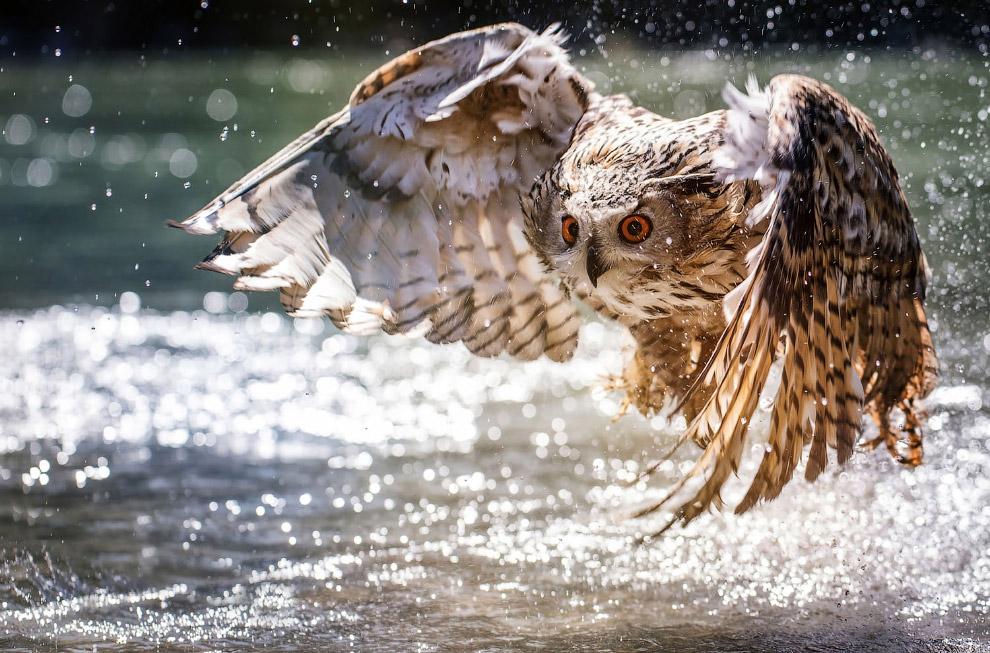 Сова охотится на рыбу