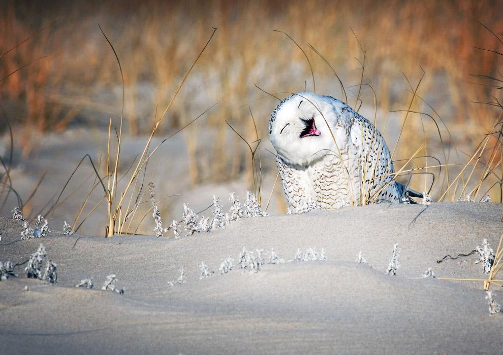 Белая сова — активный хищник