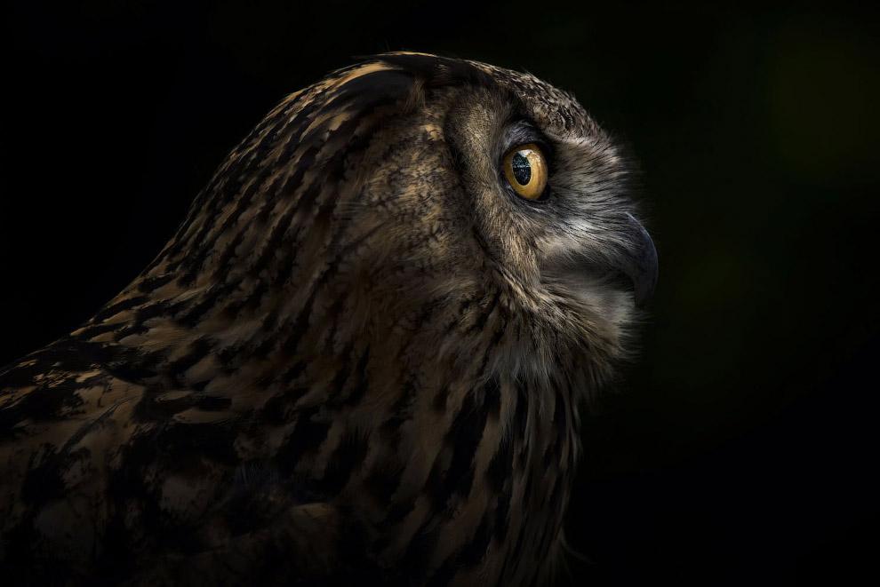 Портрет совы