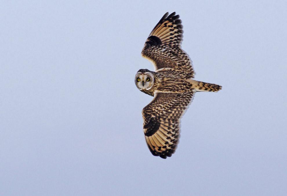 Болотная сова охотится на полевок