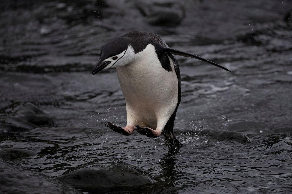Ареал антарктического пингвина