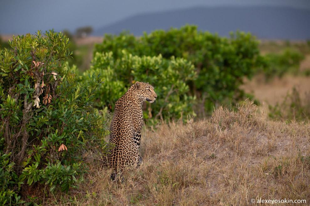Уютный вечер с леопардом