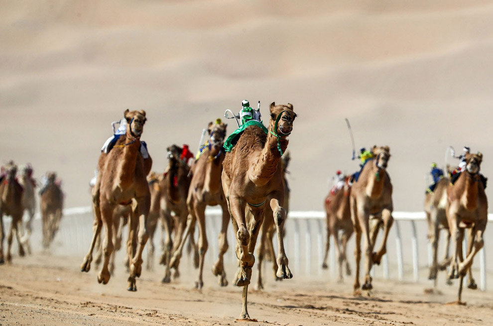 Роботы-жокеи в Объединенных Арабских Эмиратах