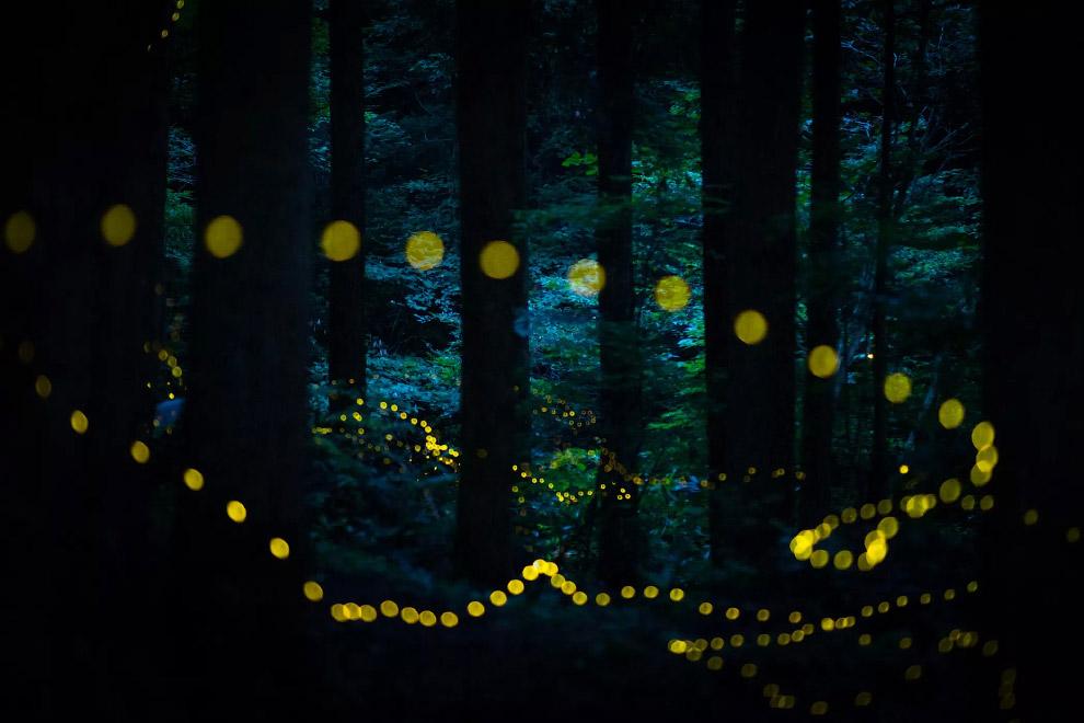 Светлячки в лесах Тоттори, Япония