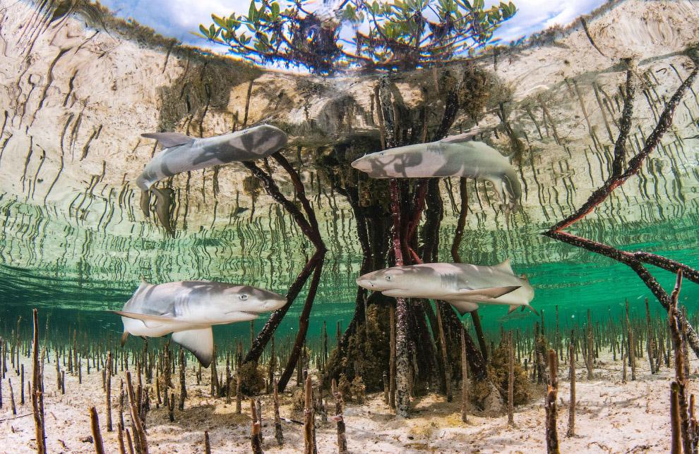 Лимонные акулы в мангровых лесах