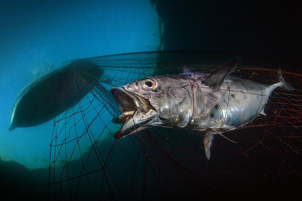 В рыболовных сетях