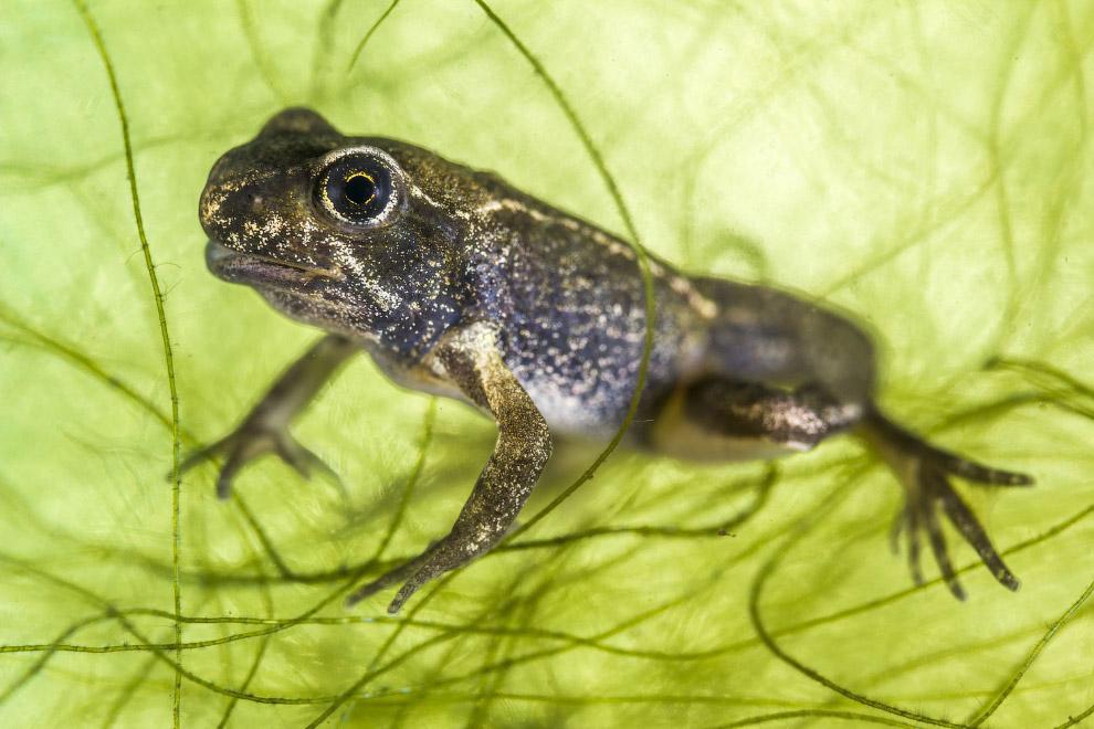 Эта крошечная обыкновенная лягушка имеет длину менее 1 сантиметра
