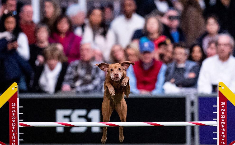 На выставке собак Westminster Kennel Club 2020