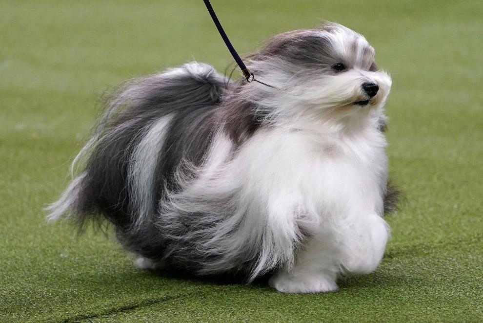 Гаванский бишон — порода собак группы болонок