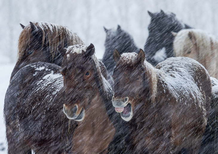 Исландские лошади на конном заводе возле Франкфурта, Германия