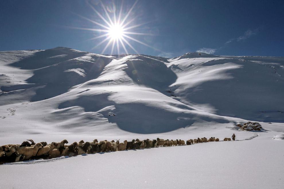 Пастух со своим стадом в Ване, Турция