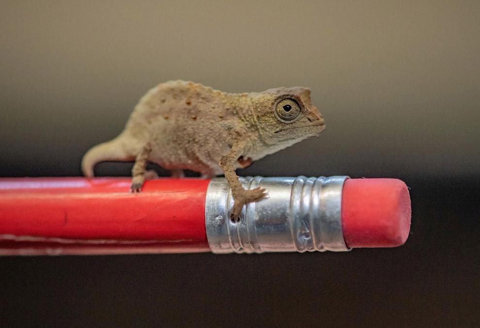 Крошечный карликовый хамелеон
