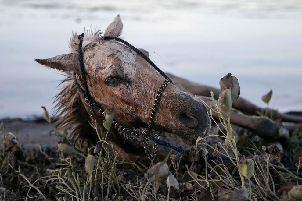 Лошадь, покрытая вулканическим пеплом из вулкана