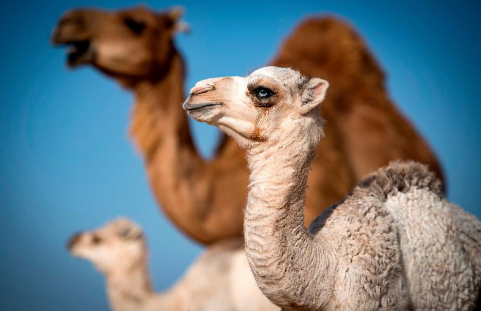 Верблюжонок в Марокко