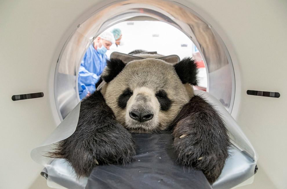 Обследование здоровяка в Берлинском зоопарке