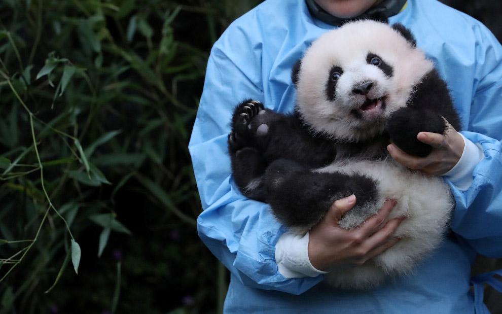 Трехмесячная панда