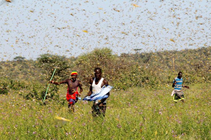 С палками против саранчи в Кении